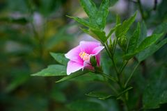 Hibiskusen är den thai blomman Royaltyfri Fotografi