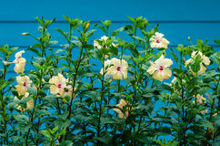 Hibiskusen används som ett staket Arkivfoto