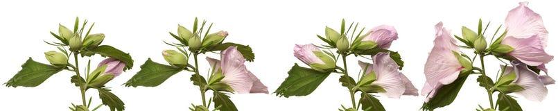 Hibiskusen blommar blommande serie Arkivbild