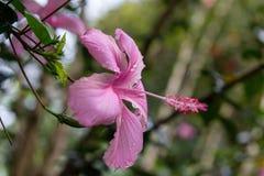 Hibiskusen blommar på trädgården Arkivfoton