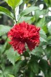 Hibiskusen blommar röd färg arkivbilder