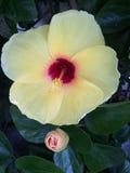 Hibiskusen kines steg Royaltyfri Fotografi