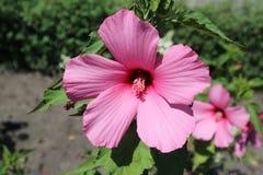 Hibiskusmoscheutos översvämmar den stora rosa färgblomman för den rosa malvan på en solig dag Royaltyfria Foton