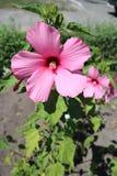 Hibiskusmoscheutos översvämmar den stora rosa färgblomman för den rosa malvan på en solig dag Royaltyfria Bilder