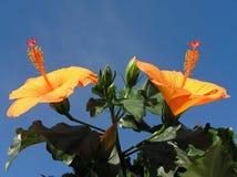 hibiskusorange Fotografering för Bildbyråer