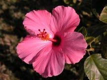 hibiskuspink Arkivfoton