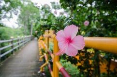 Hibiskusrosa färger Royaltyfri Fotografi