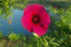 Hibiskusrosa-sinensis jasund som är bekant colloquially som den kinesiska hibiskusen Neral royaltyfri foto