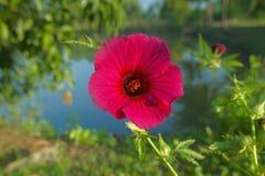 Hibiskusrosa-sinensis jasund som är bekant colloquially som kinesisk hibiskus nära Neral royaltyfria foton