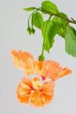 Hibiskusschizopetalus eller Coral Hibiscus blomma Royaltyfri Fotografi