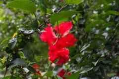 Hibiskusschizopetalus eller satt fransar på hibiskus Arkivbild