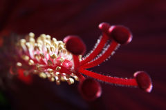 hibiskusstamen Royaltyfri Foto