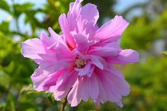 Hibiskussyriacus, blå chiffong, i blomma royaltyfri foto