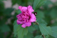 Hibiskussyriacusfrihet eller ros av den enkla blomman för Sharon Freedom variation med blommaknoppar på mörker - gräsplan lämnar  Arkivfoto