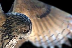 Hibou à cornes asiatique Images libres de droits