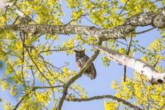 Hibou à cornes grand Image libre de droits