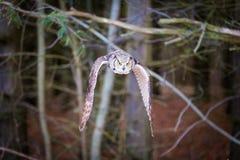 Hibou à cornes gris photos stock
