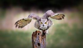 Hibou à cornes gris image stock
