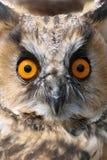 Hibou à cornes (otus d'Asio) Images libres de droits