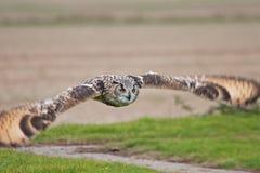 Hibou à oreilles courtes Images libres de droits