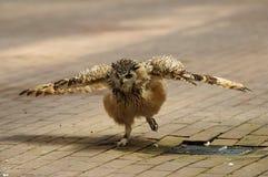 Hibou à oreilles courtes, ailes répandues. photo stock