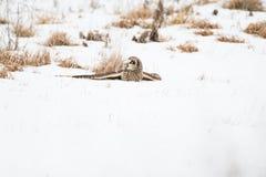 Hibou à oreilles courtes dans la neige image libre de droits