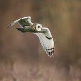 Hibou à oreilles courtes sauvage en vol, ailes vers le bas (flammeus d'Asio) Photographie stock libre de droits