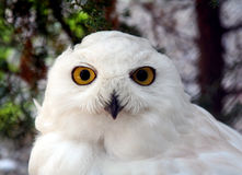Hibou 5 de neige photo libre de droits