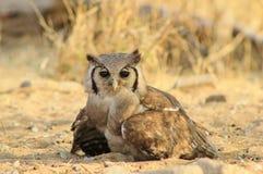 Hibou, aigle géant - yeux africains Images libres de droits