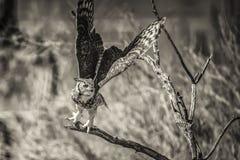Hibou au décollage de vol Image libre de droits