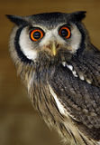 Hibou avec les yeux oranges Image libre de droits