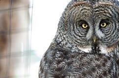 Hibou avec les yeux piercing Image libre de droits