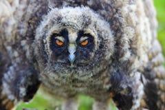 Hibou avec les yeux somnolents Photographie stock libre de droits