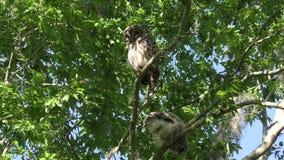 Hibou barré avec son jeune hibou sur un arbre banque de vidéos