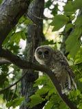 Hibou barré dans l'arbre d'érable regardant l'appareil-photo Image stock