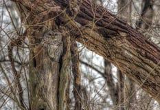 Hibou barré dans le nid dans les bois d'hiver Photo libre de droits