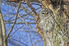 Hibou barré dans le nid en bois Images stock