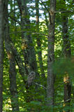 Hibou barré dans le pin Image stock