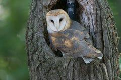 Hibou barré dans un arbre Photos libres de droits