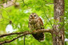 Hibou barré (varia de Strix) se reposant sur un arbre Images stock