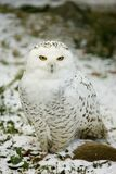 HIBOU blanc Photos stock