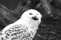 Hibou blanc Photographie stock
