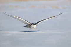 Hibou blanc de Milou de l'hiver en vol Photos stock