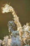 hibou boréal Photographie stock libre de droits