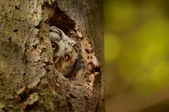 hibou boréal Photos libres de droits