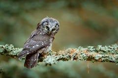 Hibou boréal dans la forêt orange d'automne de congé en Europe centrale Détaillez le portrait de l'oiseau dans l'habitat de natur image stock