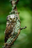 Hibou boréal dans la forêt verte d'automne de mélèze en Europe centrale, portrait d'oiseau de détail dans l'habitat de nature, photographie stock libre de droits