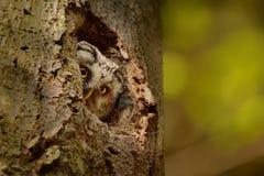 Hibou boréal - funereus d'Aegolius regardant de la cavité dans le hêtre Photo stock