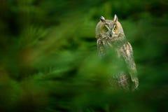 Hibou caché dans la scène de faune de forêt de l'habitat de nature Oiseau sur l'arbre impeccable Noël avec le hibou Sitt de duc photographie stock libre de droits