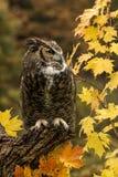 Hibou d'automne Images stock
